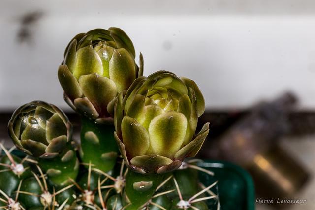 Gymnocalycium baldianum 8melo10