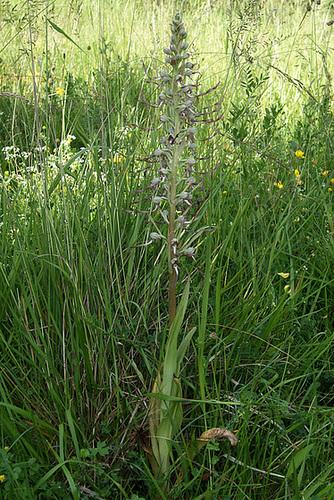 Himantoglossum hircinum - orchis bouc 9-serg10