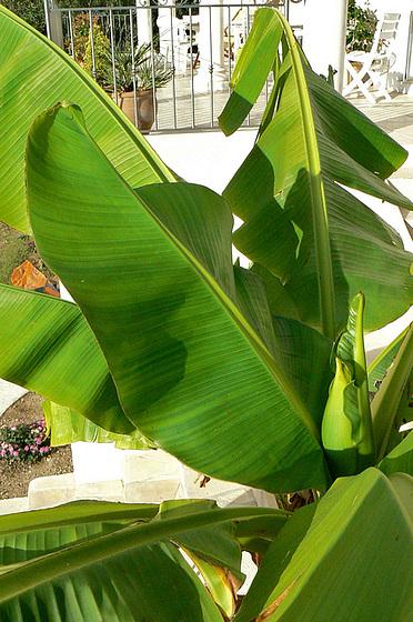 Musa paradisiaca - cycle du bananier 918