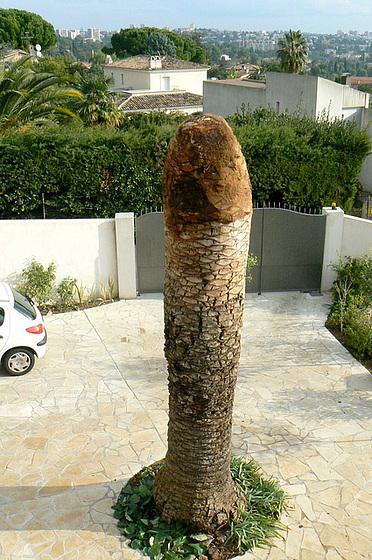 Rhynchophorus ferrugineus - charançon rouge du palmier 919