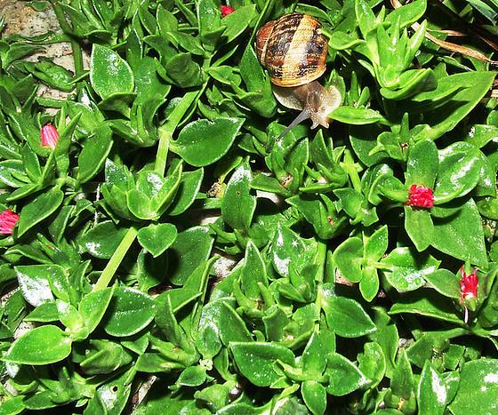 Aptenia cordifolia = Mesembryanthemum cordifolium 922