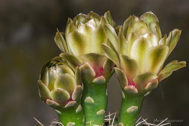 Gymnocalycium baldianum 9melo10