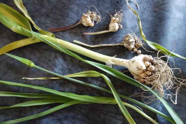 Allium polyanthum - ail à fleurs nombreuses Allium10