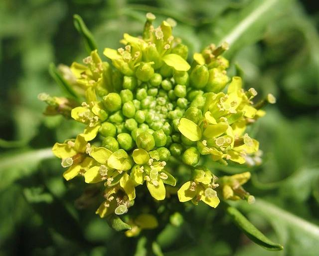 Sisymbrium irio - roquette jaune Sisymb10