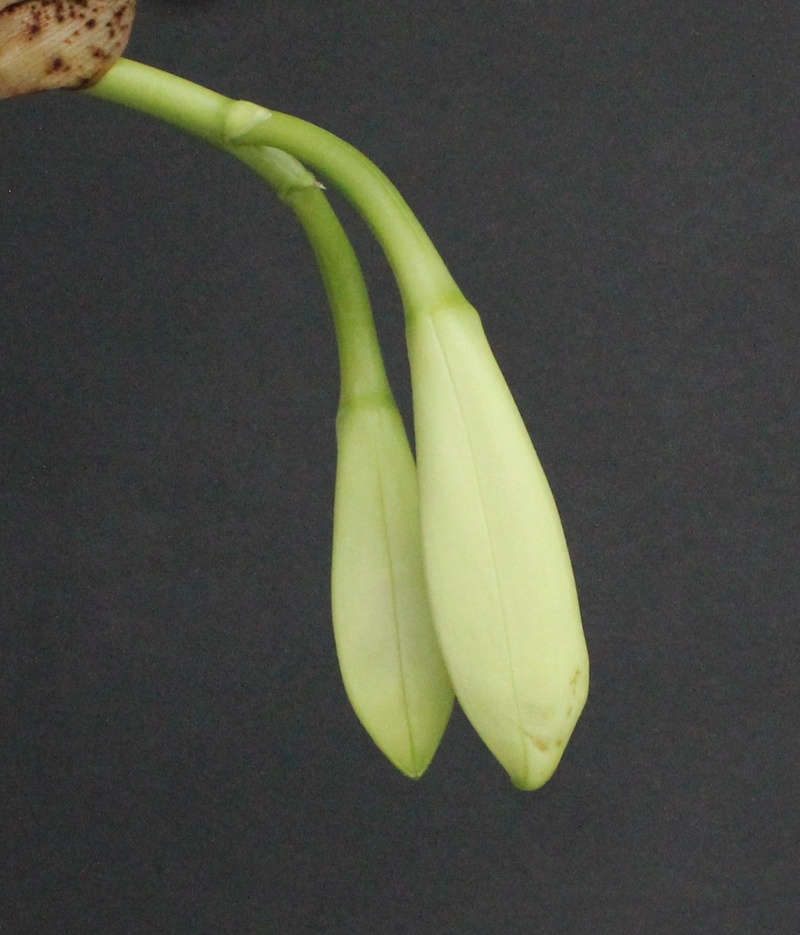 Cattleya trianae var alba Cattle10
