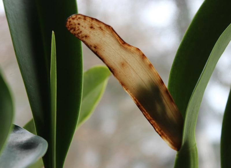 Cattleya trianae var alba Cattle12