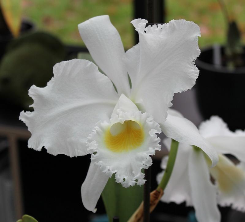 Cattleya trianae var alba Cattle13