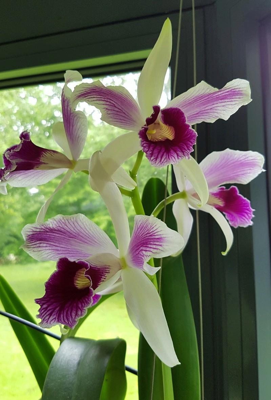 Laelia purpurata var. striata Laelia17