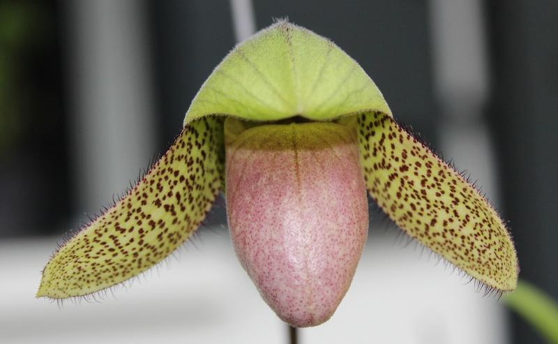 Paphiopedilum parnatanum Paphio10