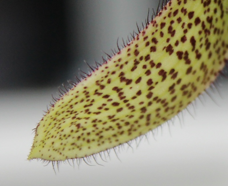Paphiopedilum parnatanum Paphio11
