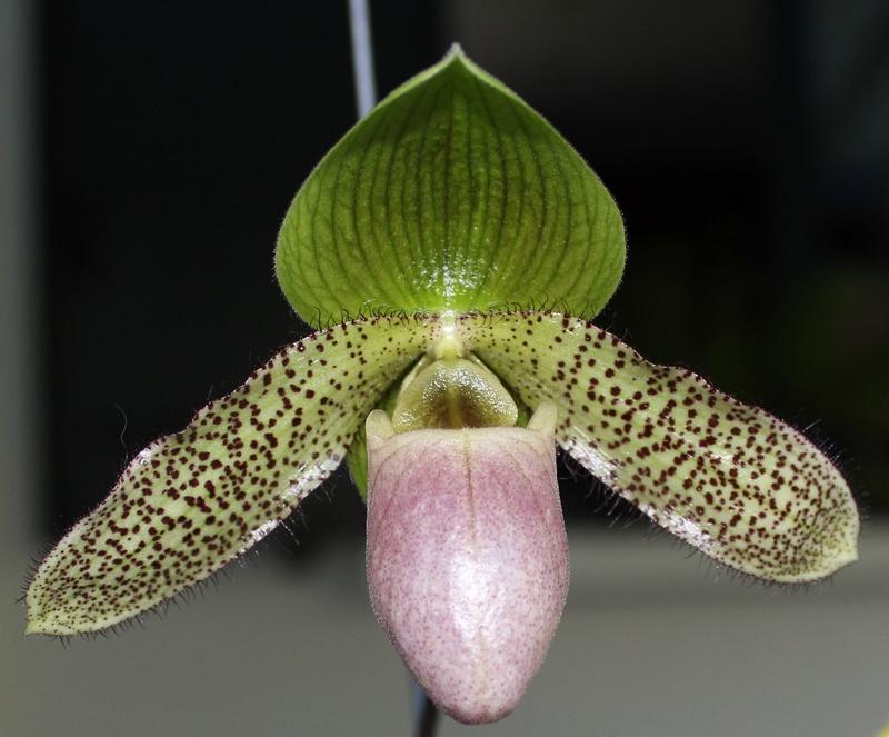 Paphiopedilum parnatanum Paphio13