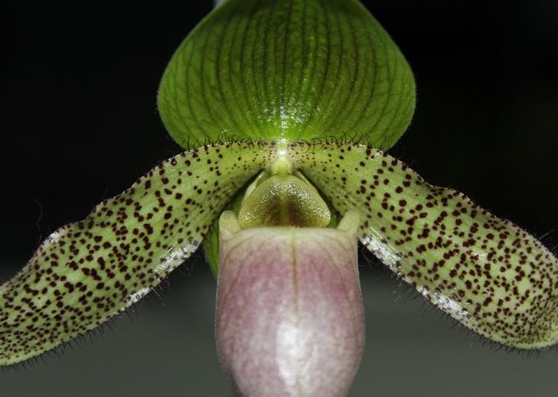 Paphiopedilum parnatanum Paphio14