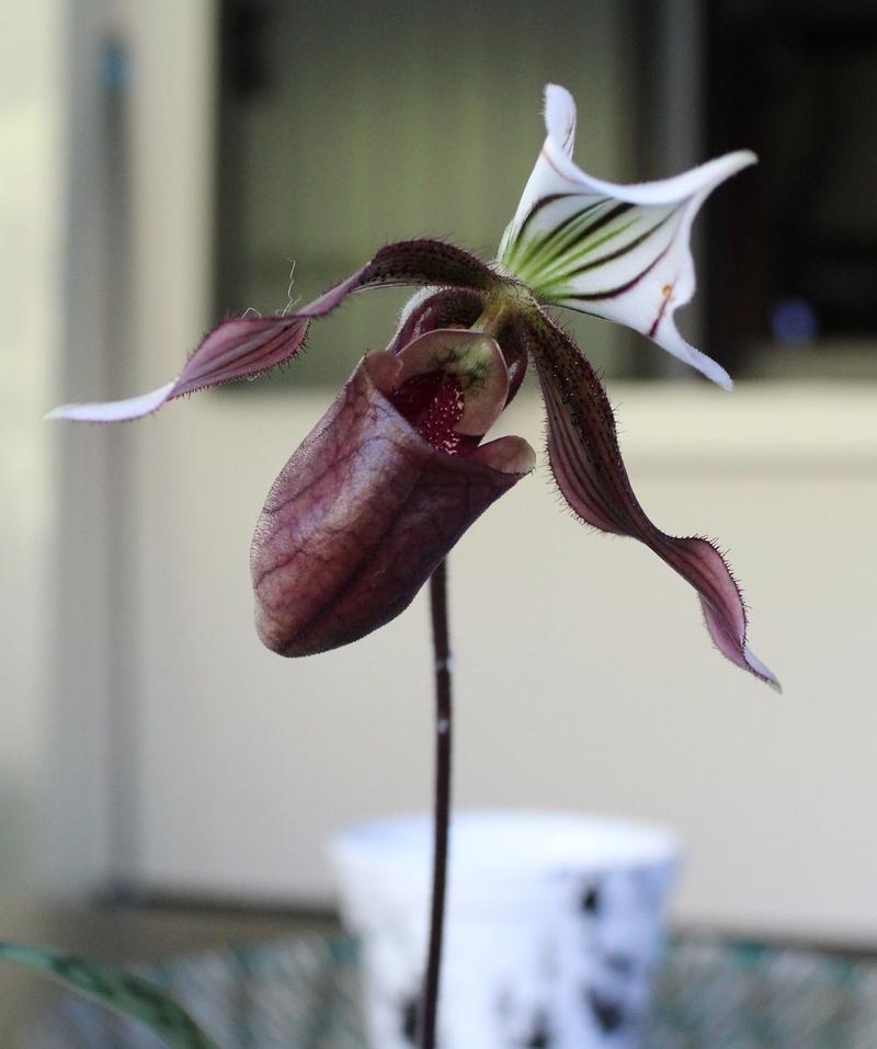 Paphiopedilum purpuratum Paphio17
