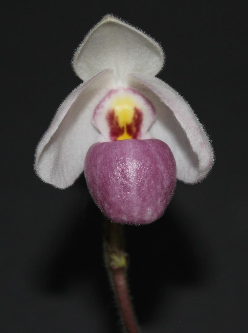 Paphiopedilum delenatii Paphio20