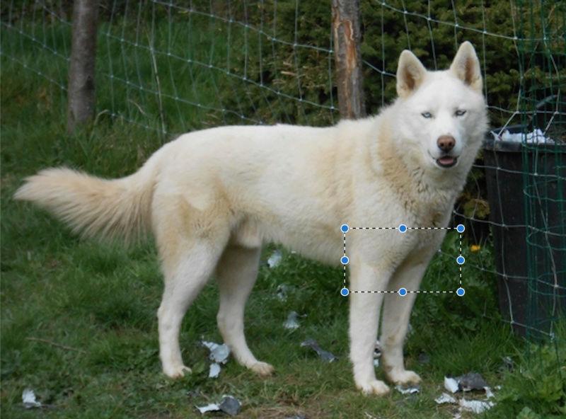 Cherche famille pur Husky très craintif et fugueur Thorga10