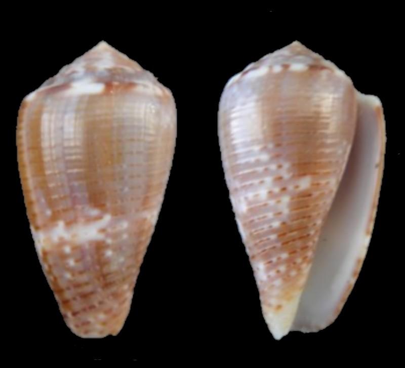Conus (Pionoconus) easoni   (Petuch & Berschauer, 2018) Conus_10