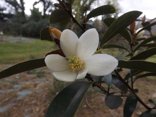 Magnolia yunnanensis (= Michelia yunnanensis) Dscf3910