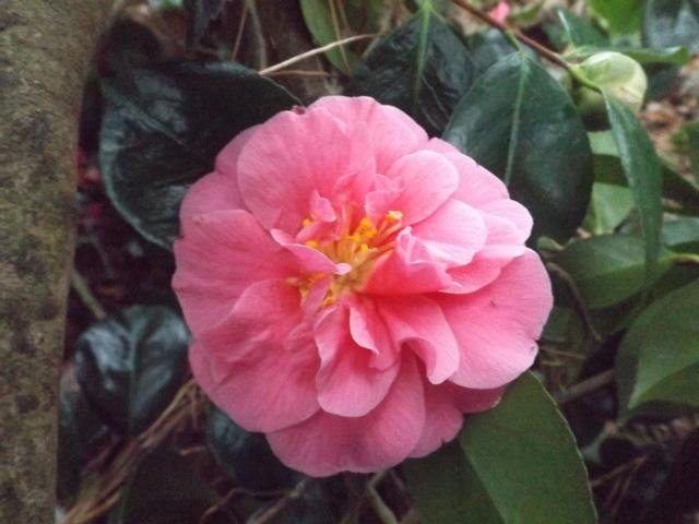 Camellia 2018 Dscf5326