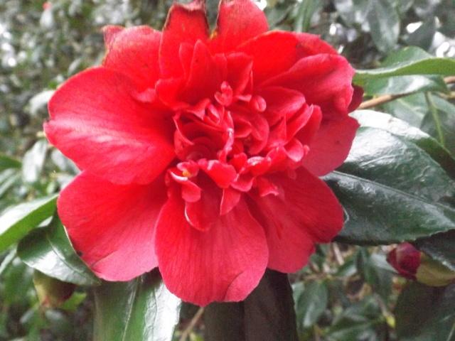 Camellia 2018 Dscf5327