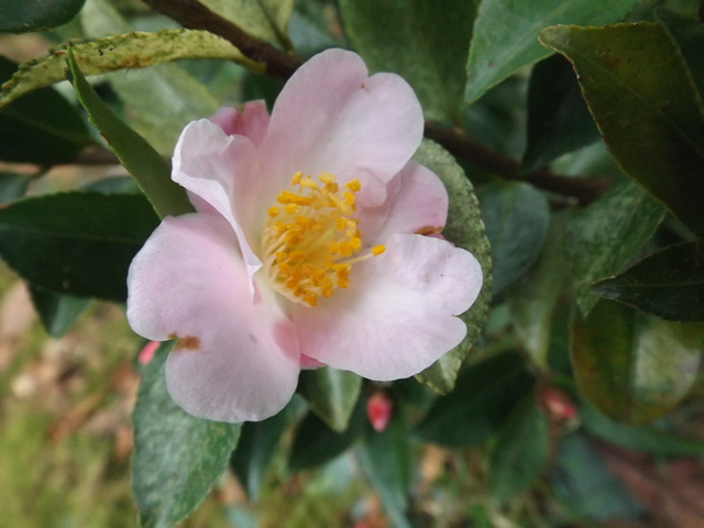 Camellia 2018 Dscf5328