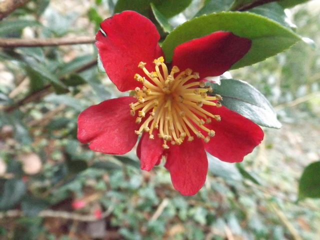 Camellia 2018 Dscf5332