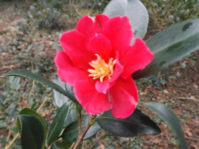 Camellia 2018 Dscf5334
