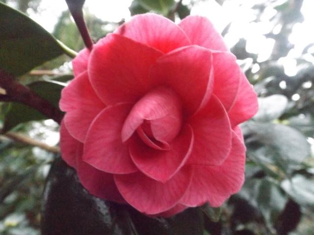Camellia 2018 Dscf5335