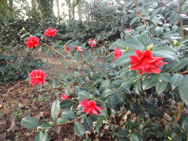 Camellia 2018 Dscf5336