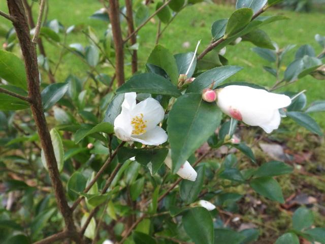 Camellia 2018 Dscf5337