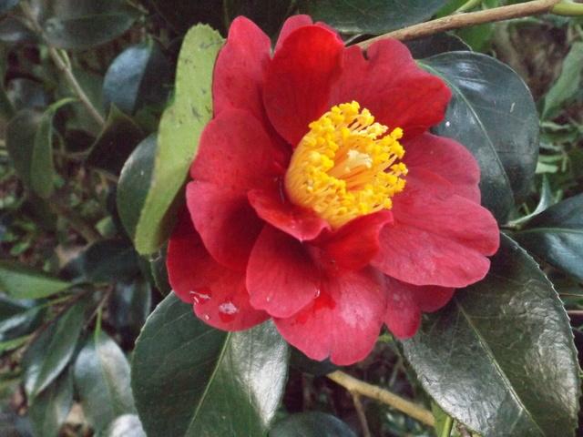 Camellia 2018 Dscf5411