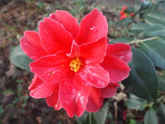 Camellia 2018 Dscf5413