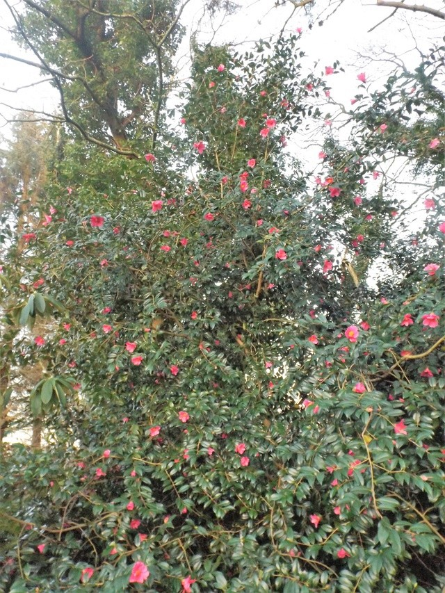 Camellia 2018 Dscf5414