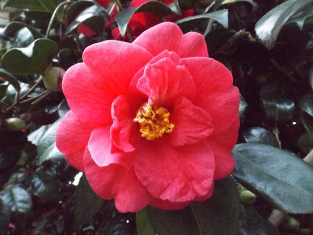 Camellia 2018 Dscf5415