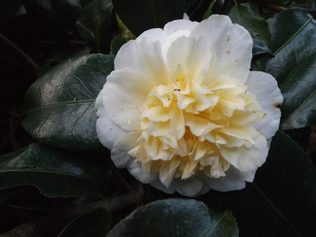 Camellia 2018 Dscf5416