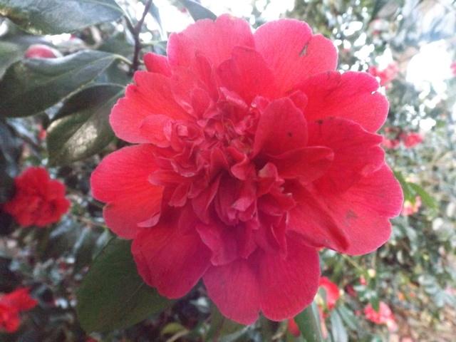 Camellia 2018 Dscf5417