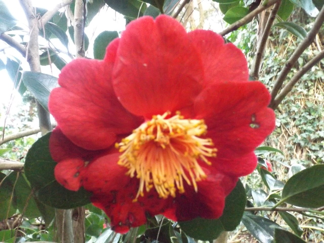 Camellia 2018 Dscf5419