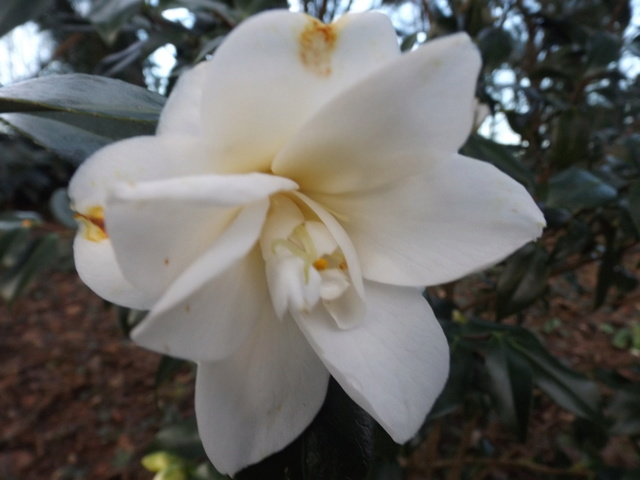 Camellia 2018 Dscf5421