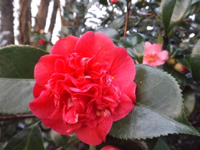 Camellia 2018 Dscf5422