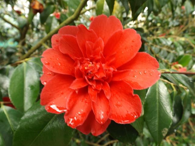 Camellia 2018 - Page 2 Dscf5524