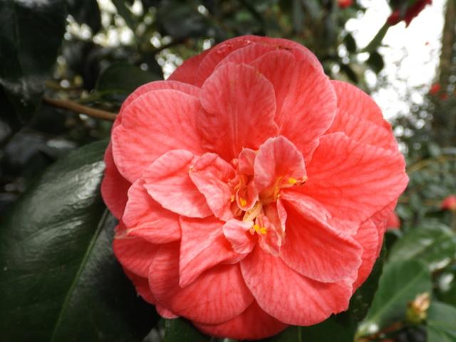 Camellia 2018 - Page 2 Dscf5527