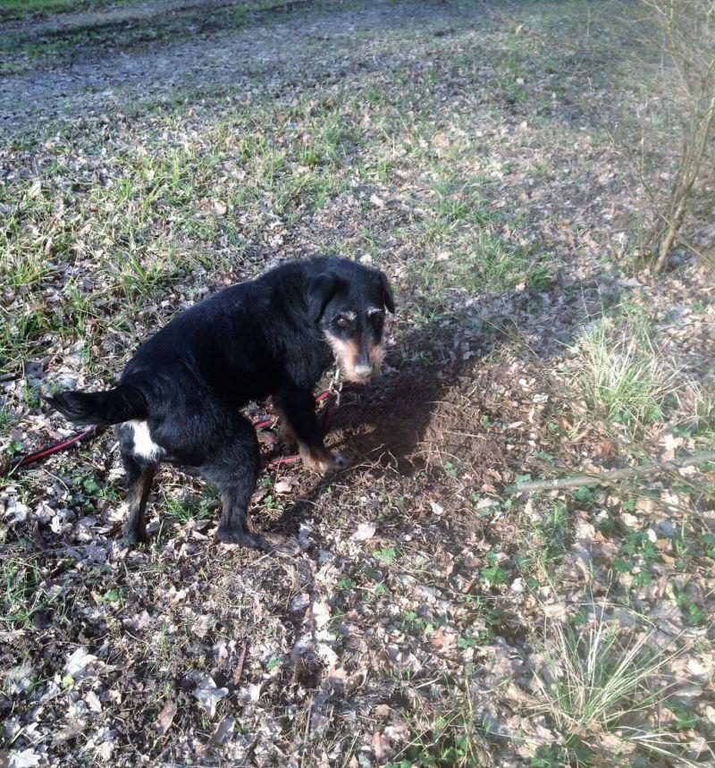 EOLl - jagd terrier 10 ans (4 ans de refuge) - Refuge du Mordant à Villey St Etienne (54) Eol11