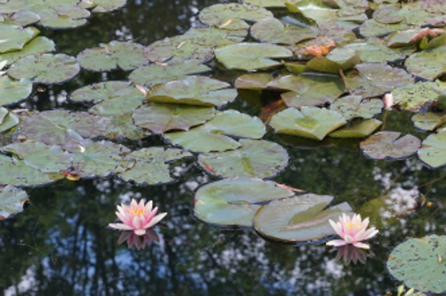 Visite de Giverny Nymphy12