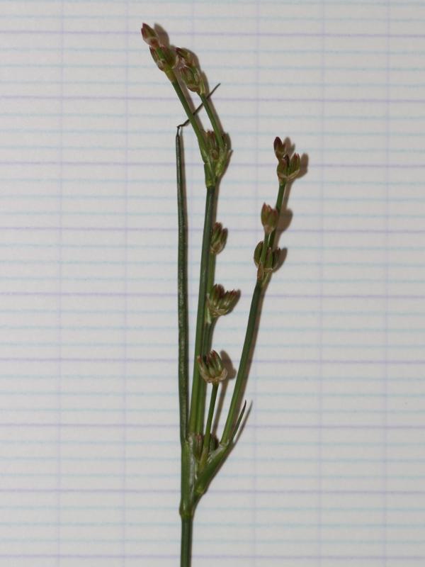 Graminées d'herbier à identifier Img_0110
