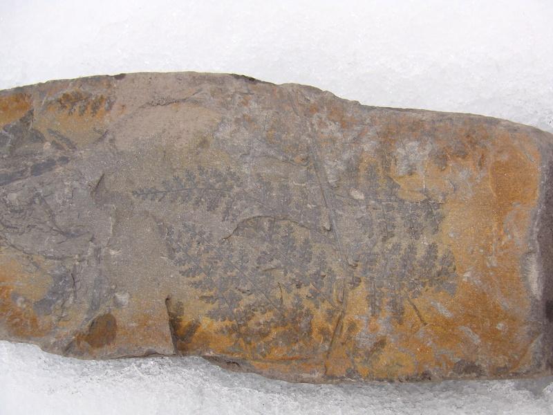 Sphenopteris ( Brongniart ) Sternberg , 1825 .  Dsc04513