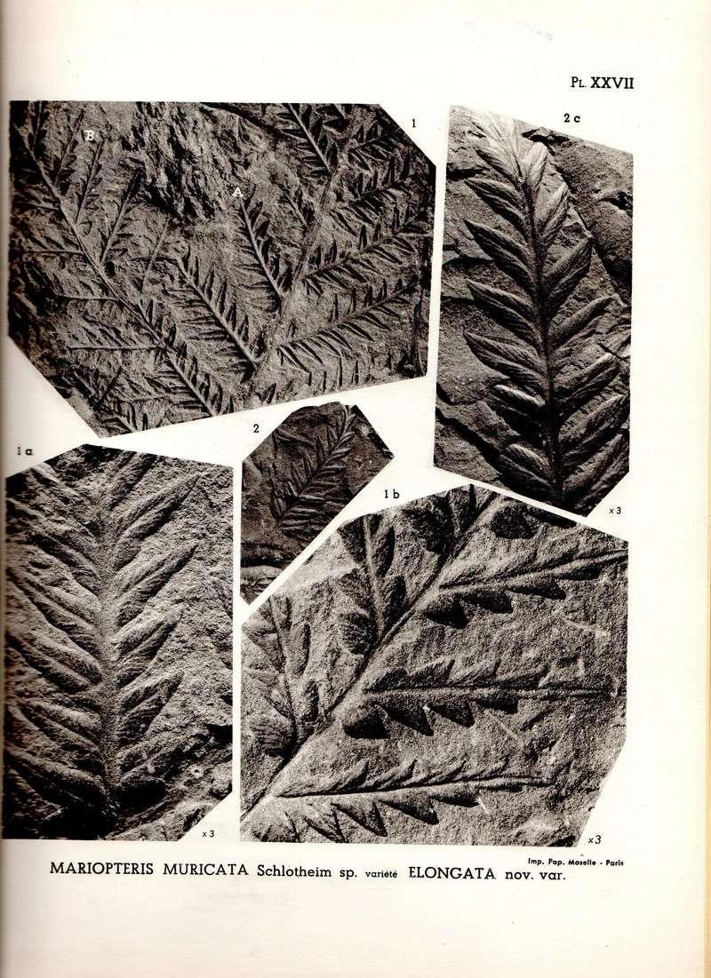 Mariopteris Zeiller , 1879. Irm03211