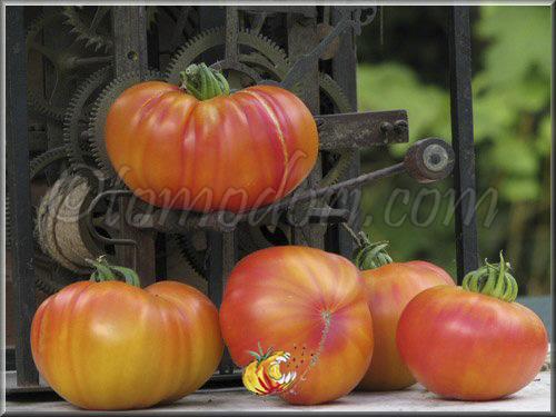 Tomates - Page 38 Stripe10