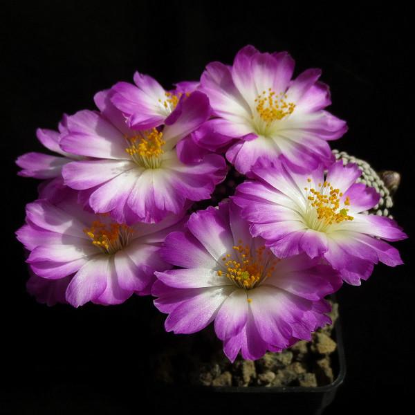 Primavera na minha estufa Mammil18