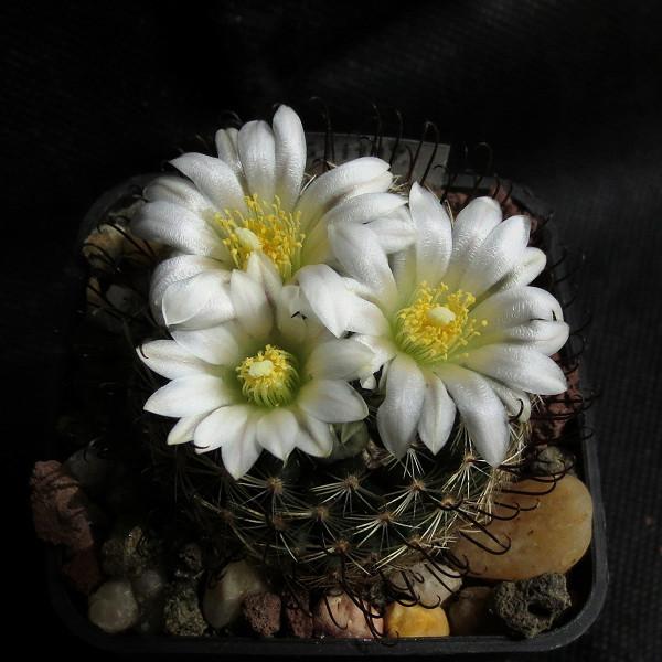 Primavera na minha estufa Mammil21