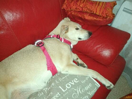 DIANA - femelle Labrador x Retriever de grande taille, née environ février 2010 (Camelia)- en FA chez Tamara (57) - réservée adoption par Yoda (Belgique)  - Page 2 15299510
