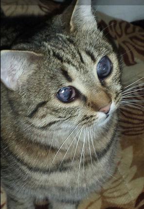 SHANA - chat femelle aveugle, née en fin 2016 - EN FA A PASCANI - Adoptée par Nanette 71 (71) 452
